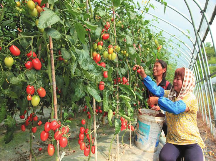 西红柿采摘包装